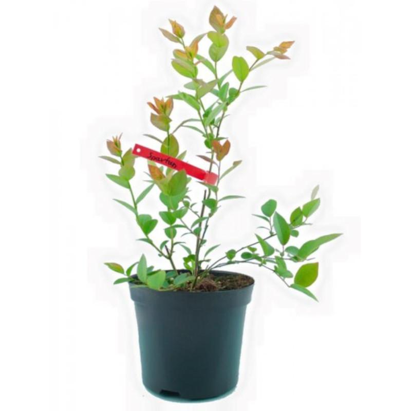 Američka borovnica (Vaccinium corymbosum) – sadnice