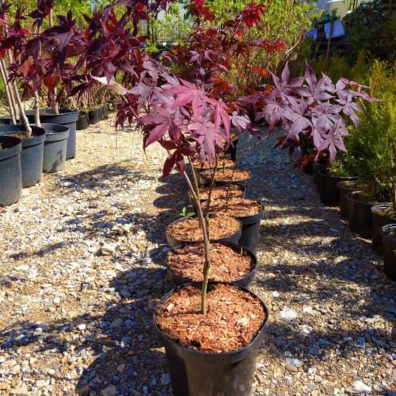 Japanski javor (Acer palmatum) – sadnice